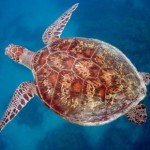diving_with_turtles_on_the_great_barrier_reef_queensland_australia